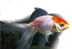 types of goldfish Veiltail goldfish