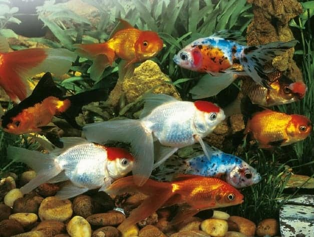 Goldfish swim school koi fish and diy koi pond for Koi goldfish care