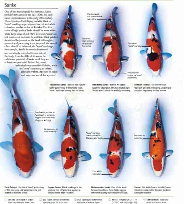 types of koi kio fish pictures sanke