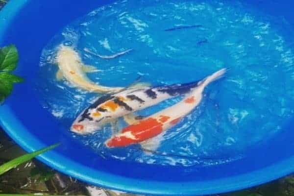 koi breeding you need to know 2020