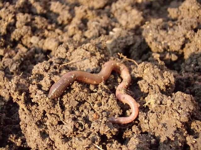 what do koi fish eat earthworms