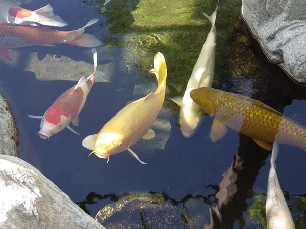 koi pond design What you need to consider