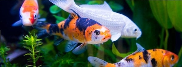 koi fish care indoor
