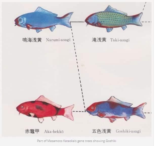 goshiki koi genealogy history