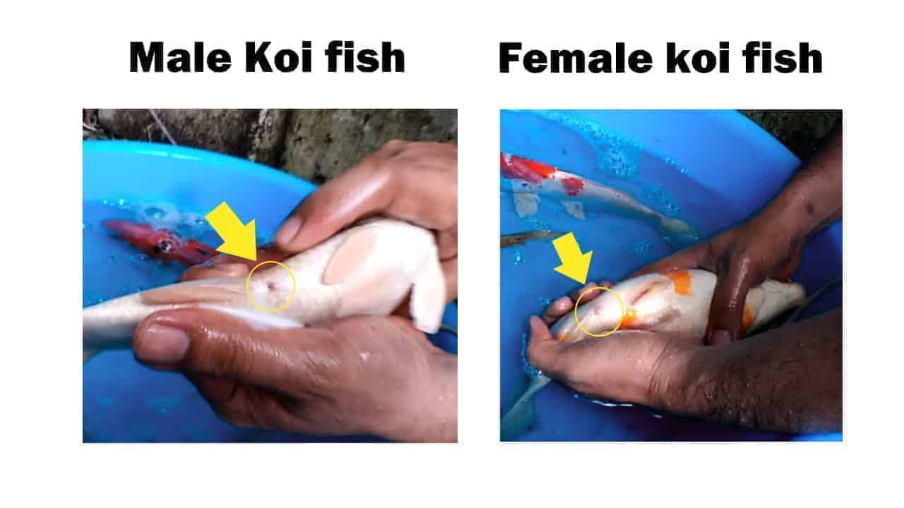 how to tell if a fish is male or female (sexing koi)