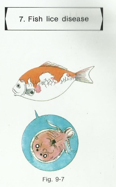 fish diseases pictures fish lice