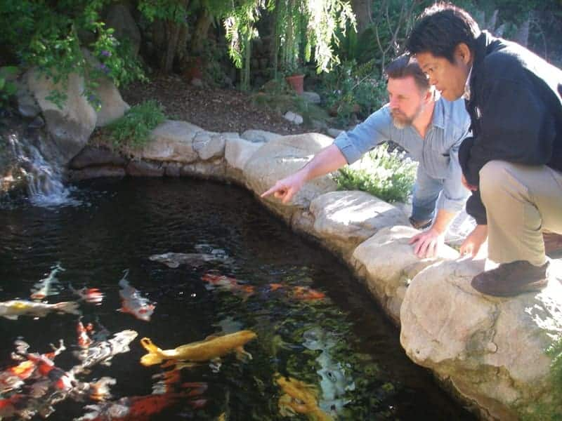 selling koi fish big business
