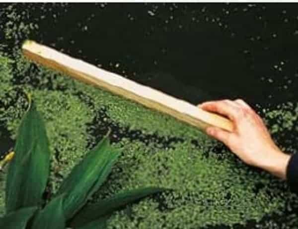 duckweed pond maintenance