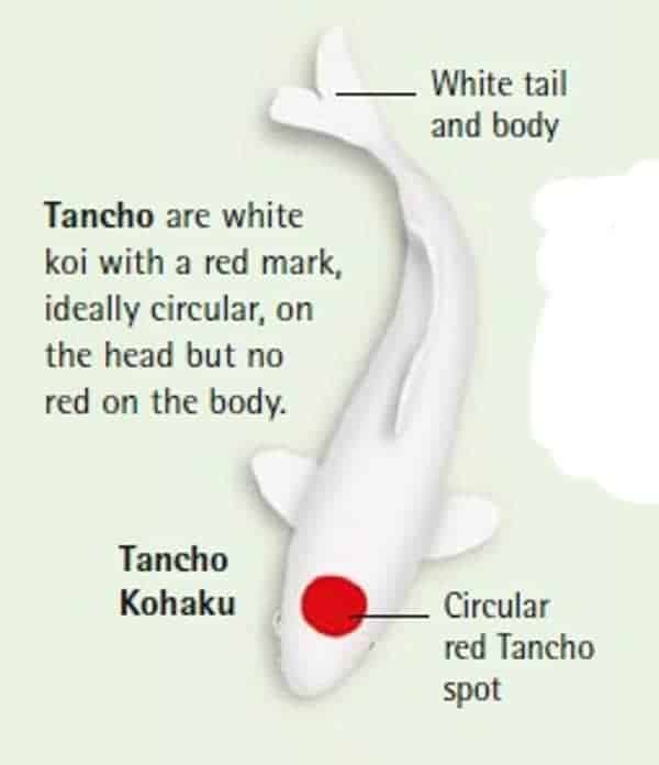 koi fish color meaning chart tancho kohaku