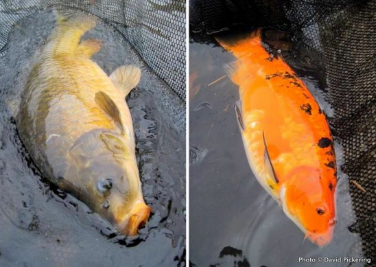 koi pond storm preparation what you need to know 2018 1