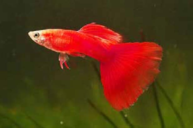 Guppy Guppies New And Used Fish For Sale In The Philippines Olx Ph
