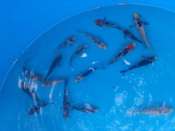 koi fish for sale in mindanao selected 3 inch showa