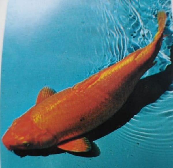 Orange-Ogon