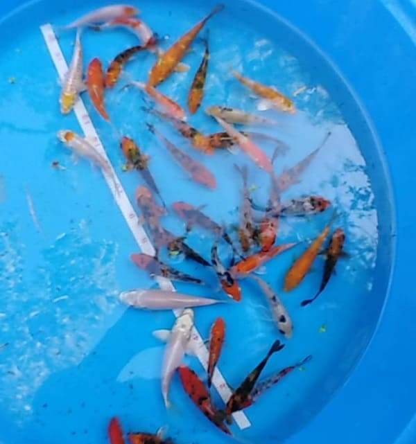 koi fish for sale assorted selected quality 4 inch