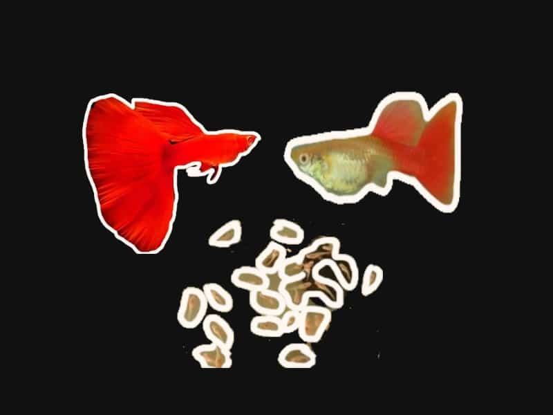 how to breed guppy fish 2019 Unveiled the effective secret