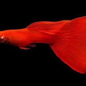 albino full red guppy
