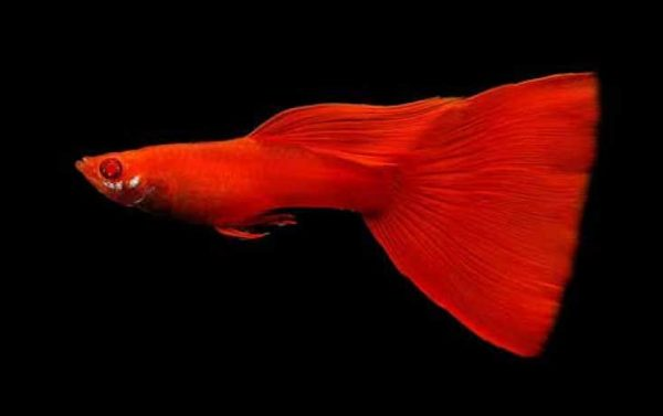 albino full red guppy