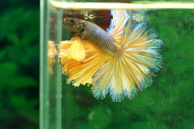 betta fish care how to care for a betta fish you need to know