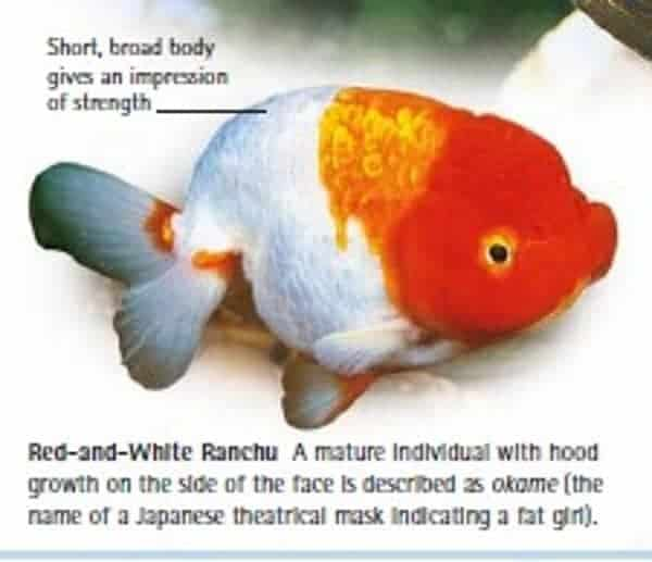 ranchu goldfish fancy goldfish everything you need to know about