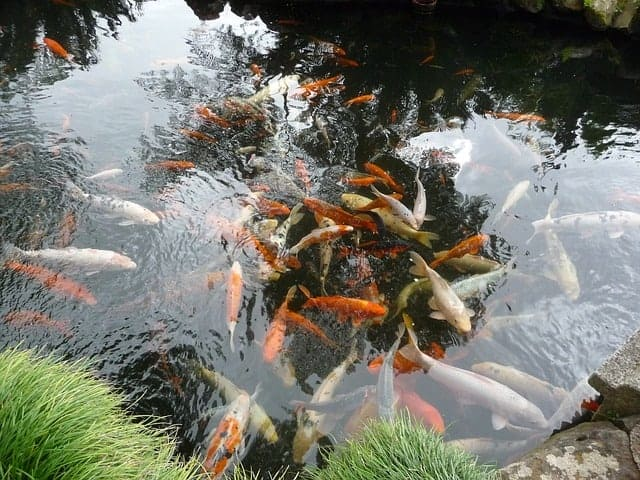 cleaning koi pond in spring