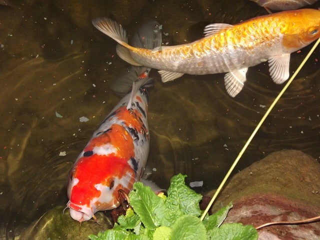 5 potential koi pond problems