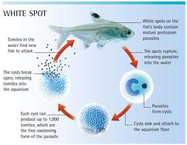 white spot life cycle