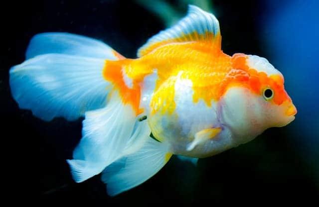 oranda goldfish care