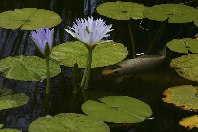 Choosing Plants For Your Koi Water Garden