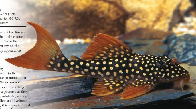 Gold-Spotted Pleco L014