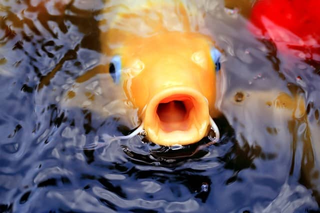 koi fish mouth