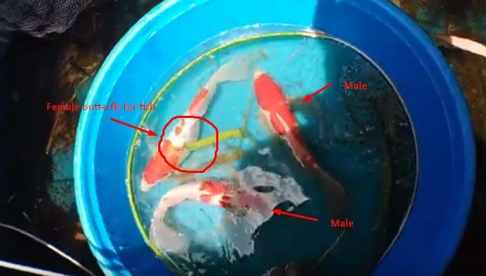 how to breed butterfly koi fish