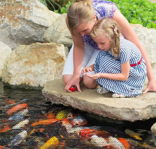 how to protect koi fish from predators