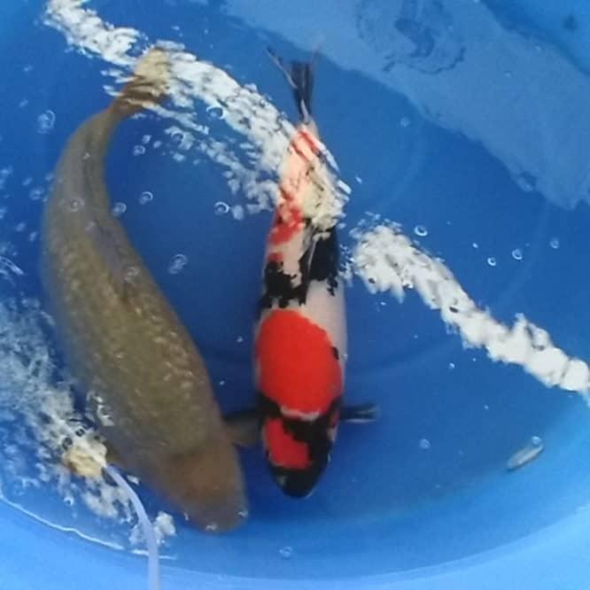 koi fish history