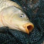 how to catch wild koi fish proper handling