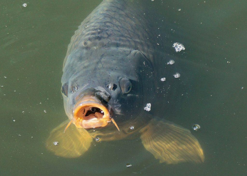 how to catch koi fish 1