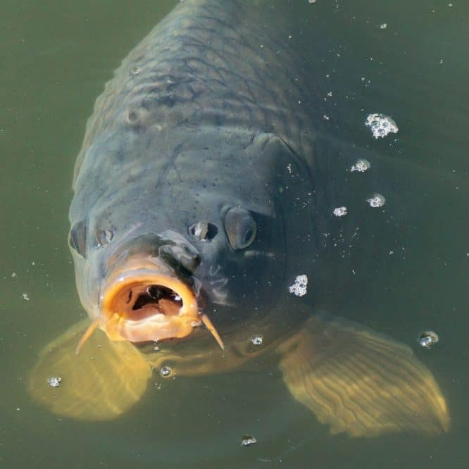how to catch wild koi fish