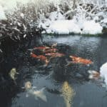 how do koi ponds work in winter