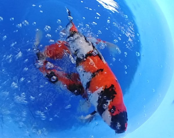 types of koi The Different Varieties of Koi fish you need to know 2