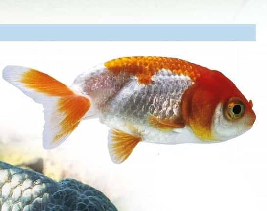 red white lionhead goldfish