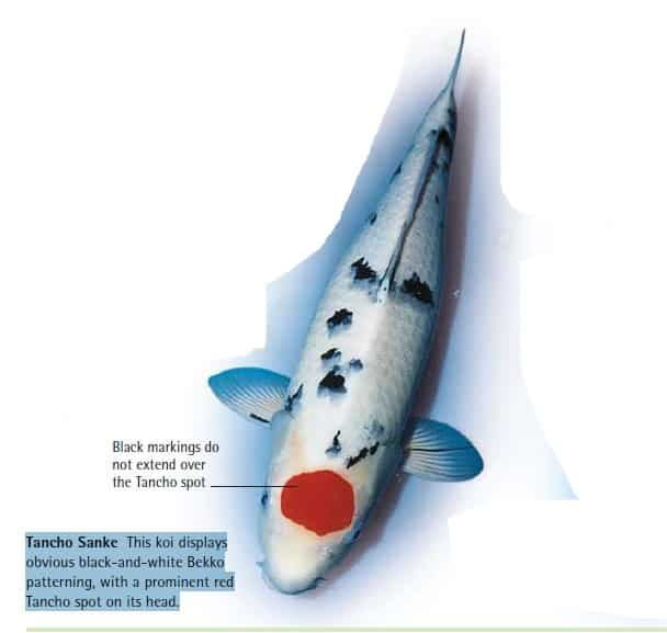 tancho sanke koi fish