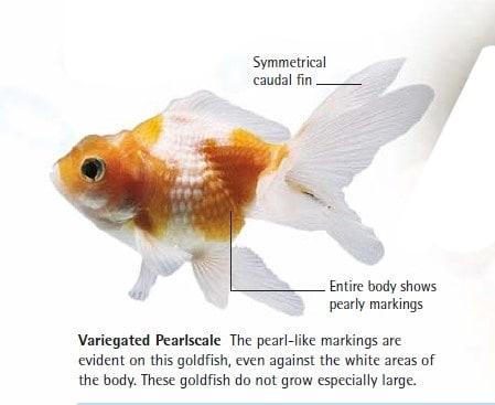 Variegated Pearlscale