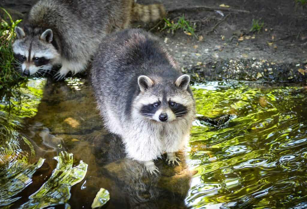 how to protect your koi fish from raccoon