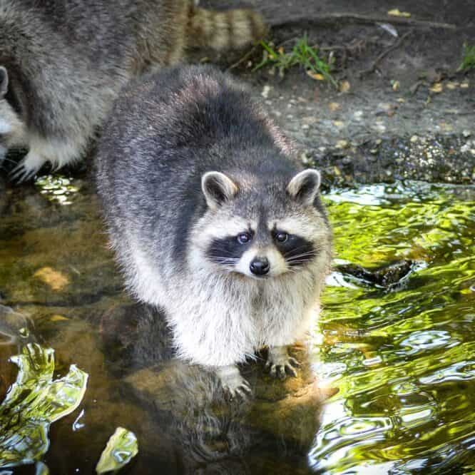 do raccoons eat koi fish how to protect your koi fish from raccoon
