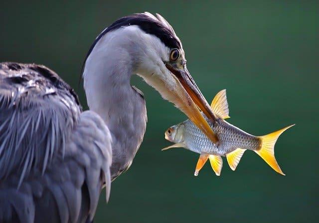 how to protect koi fish from predators herons