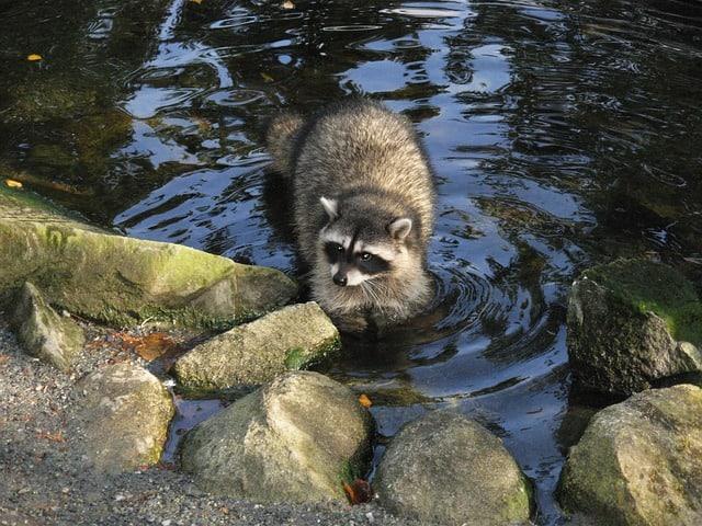 how to protect koi fish from predators raccoon
