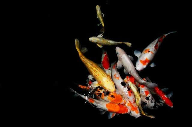 The Ultimate Guide to Koi Fish Pond Care