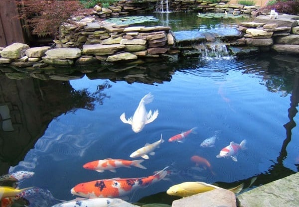 5 reasons why koi fishes are awesome 2