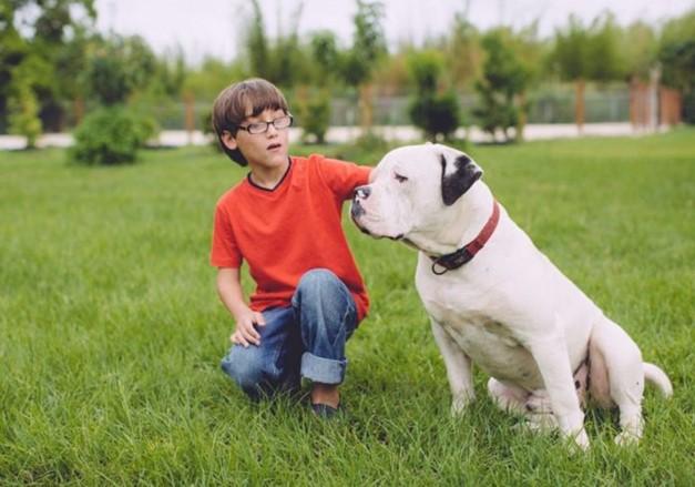 American Bulldog With little boy owner