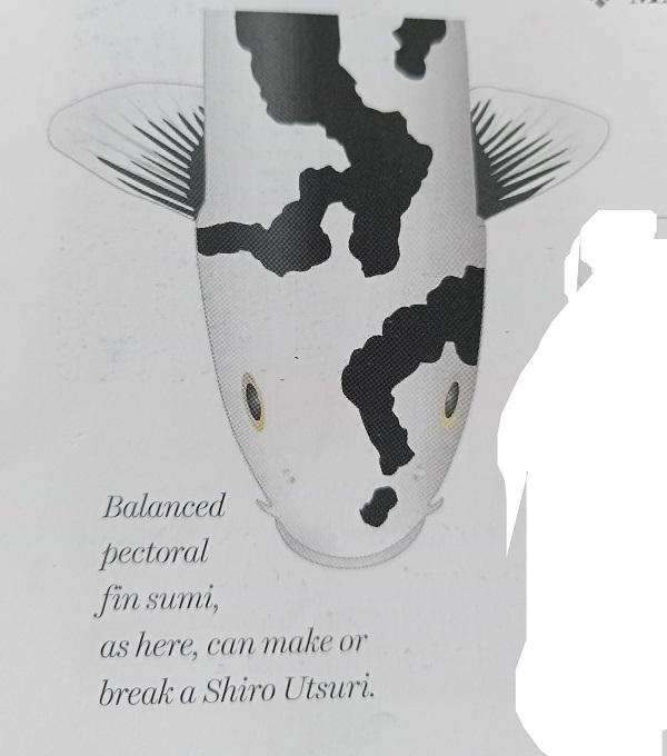 Balanced pectoral fin sumi of Shiro Utsuri