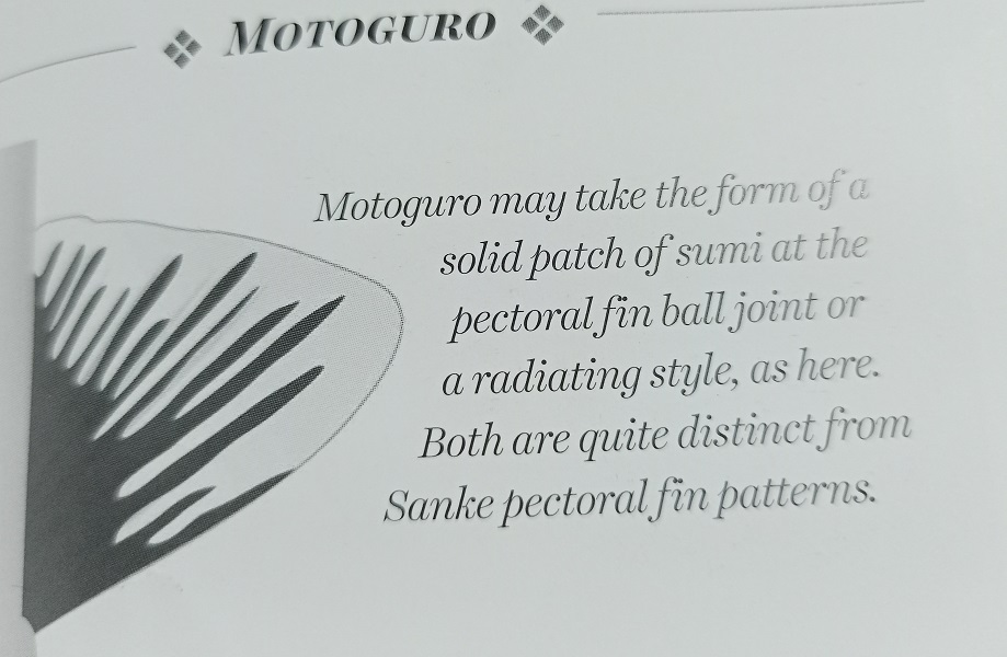 Motoguro pectoral fin pattern of Shiro Utsuri
